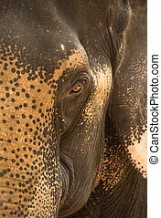 Asian Elephant - A close-up shot of an Asian Elephant