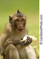 Northern Pig-tailed Macaque - A Northern Pig-tailed Macaque...