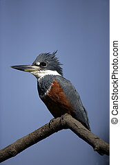 Ringed kingfisher, Megaceryle torquata, single bird on...