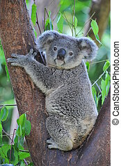 Koala bear - A koala sitting comfortably between the...