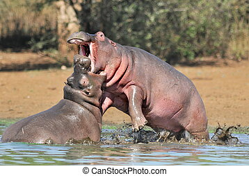 Hippos fighting - Territorial fight between two hippos in...