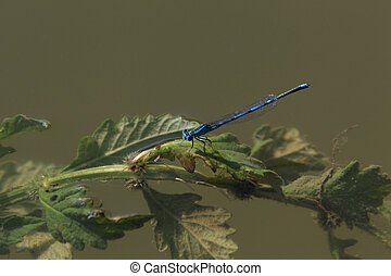 Dragonfly - Agrion on a flower
