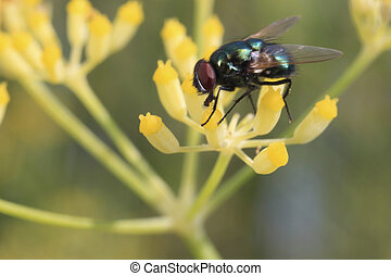 Fly - diptera - Fly on a flower