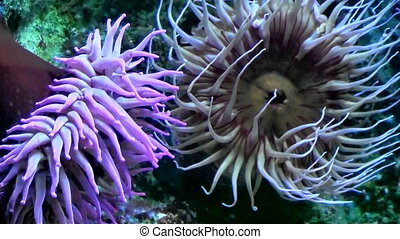 Anemones tentacles swaying