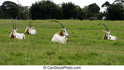 Scimitar horned Oryx resting on green field This animals are...