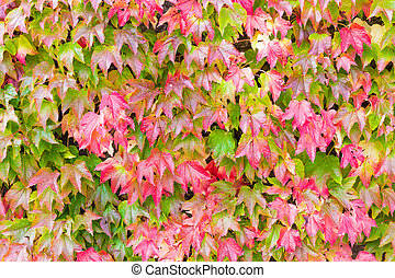 Boston ivy changing color in Autumn - Boston ivy or...