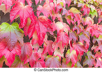Red leaves of Japanese ivy in Autumn - Red leaves of...