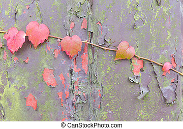 Boston Ivy shoot growing on a weathered background