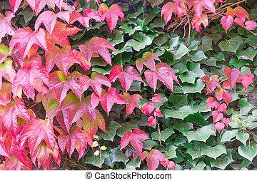 Mix of red and green Boston ivy leaves or Parthenocissus...