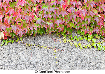 Boston ivy growing on a wall - Boston ivy with Fall colors...