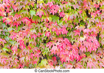 Japanese ivy changing color in Autumn - Japanese ivy or...