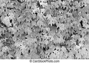 Boston ivy in monochrome - Boston ivy or Parthenocissus...
