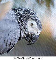 Grey-winged Macaw, Ara chloropterus