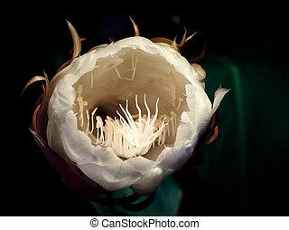 Dutchman's Pipe, Orchid Cactus, Hylocereus undatus