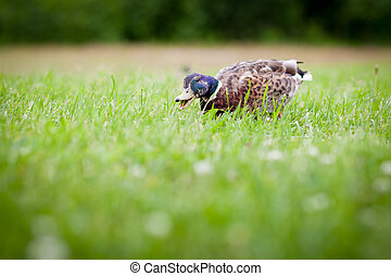 Funny duck eating grass crazy bokeh