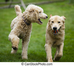 Happy Golden Retreiver Dog with Poodle Playing Fetch Dogs...
