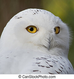 Snow owl - portrait of a beautiful snow owl