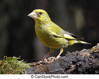 Greenfinch. - Greenfinch drink and bathe it comes to...