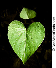 Leaf of Sweet potato, Ipomoea batatas