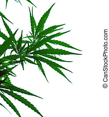 a leaves of hemp - a leaves of hemp closeup on white...