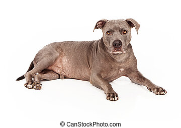 Pit Bull Dog Blue - A beautiful blue coated Pit Bull dog...