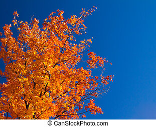 Bright Orange Fall Leaves on Blue Sky - Bright colorful...