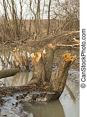 stumps of trees that gnaw beavers