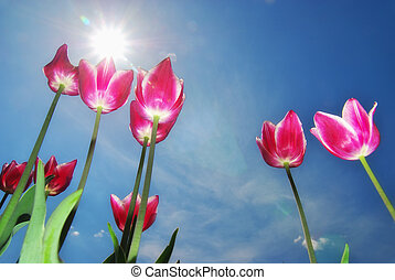 Tulips on blue sky