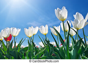 Tulips on blue sky Composition of nature