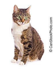 european cat isolated  on white background