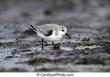 Sanderling, Calidris alba, single bird in water, Spain,...
