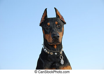Doberman - Portrait of an dog on a background of the blue...