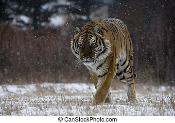 Siberian tiger, Panthera tigris altaica, single cat in snow,...