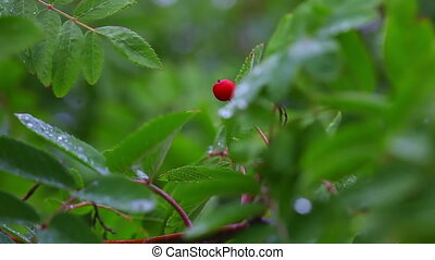 Wild berry - Single red berry among green leaves. Rack...
