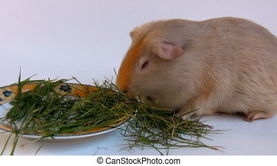 Guinea pig eating grass - Isolated close up shot of gray -...
