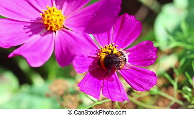 Busy bumblebee - Bumblebee collecting nectar from pink...