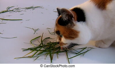 Cat eating grass - Isolated close up shot of a white with...