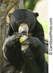 Malayan Sun Bear - Shot of a Malayan Sun Bear showing...