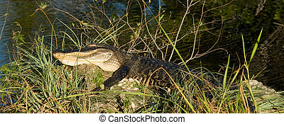 Everglades - Alligator commonly seen at the Everglades Park...