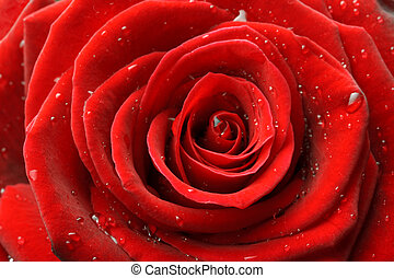 Red rose close up - Red rose with water drops close up