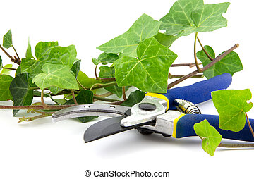 secateurs with branches of ivy plant isolated - secateurs...
