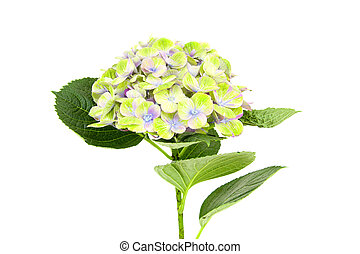 macro of a hydrangea flower isolated on white