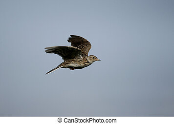 Skylark, Alauda arvensis, single bird in flight, Hebrides,...