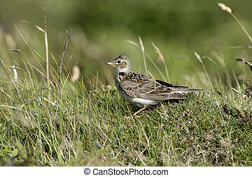 Skylark, Alauda arvensis, single bird on grass, Hebrides,...
