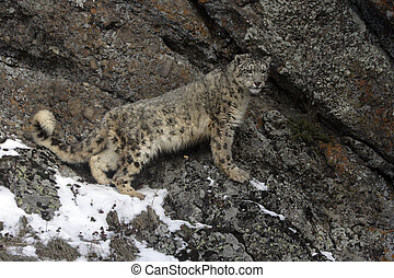 Snow leopard, Uncia uncia, single cat on rocks, captive