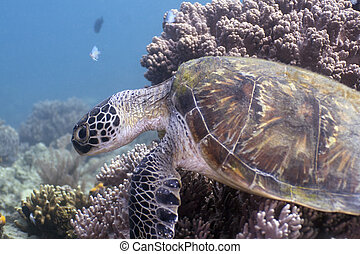 Turtle - Underwater Malaysia