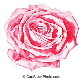romantic watercolor rose - hand draw watercolor painting of...