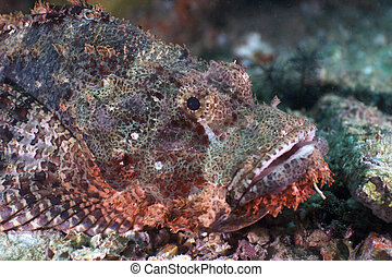 Scorpion-fish - Underwater Malaysia