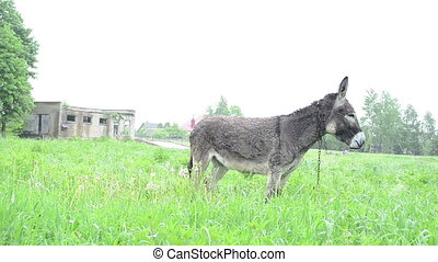 donkey graze pasture rain - Cute wet donkey animal tied with...