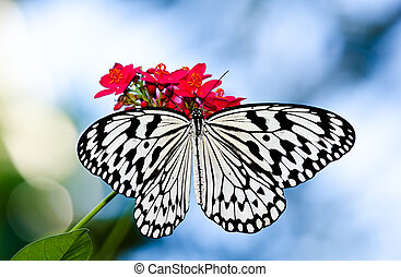 Paper Kite or Rice Paper butterfly - Paper Kite, Rice Paper,...